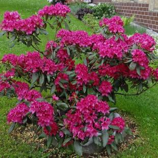 Rhododendron-bestellen.nl - Rhododendron